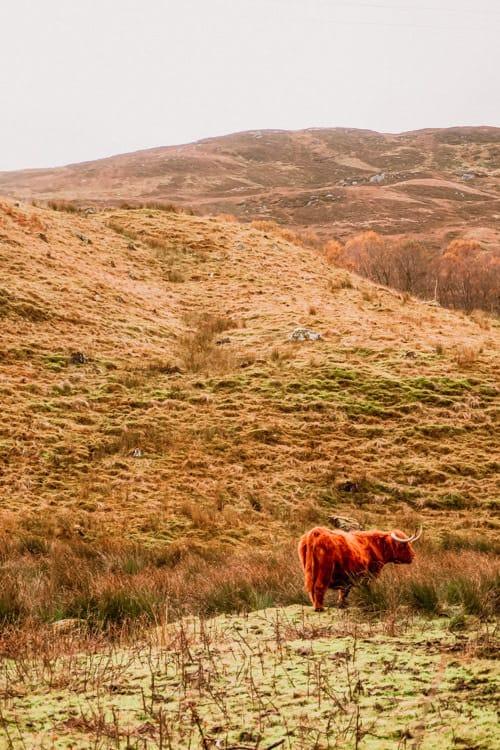 Highland Coo in November