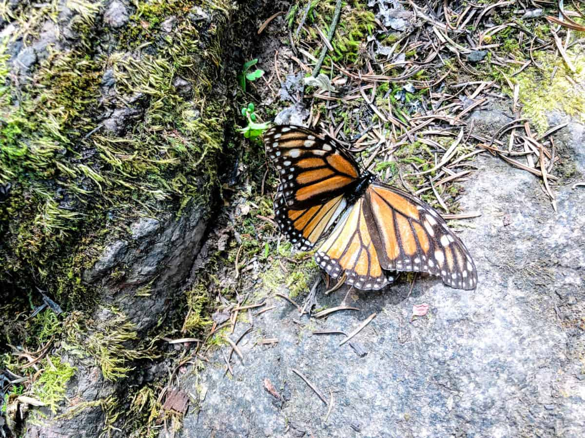 The Monarch Butterfly Biosphere - Mexico bucket list