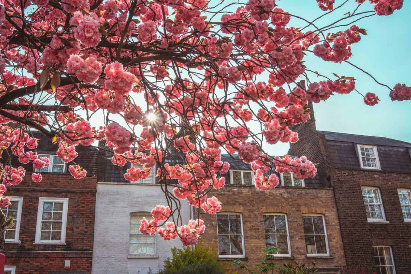 Highgate - cherry blossom - hidden gem of London