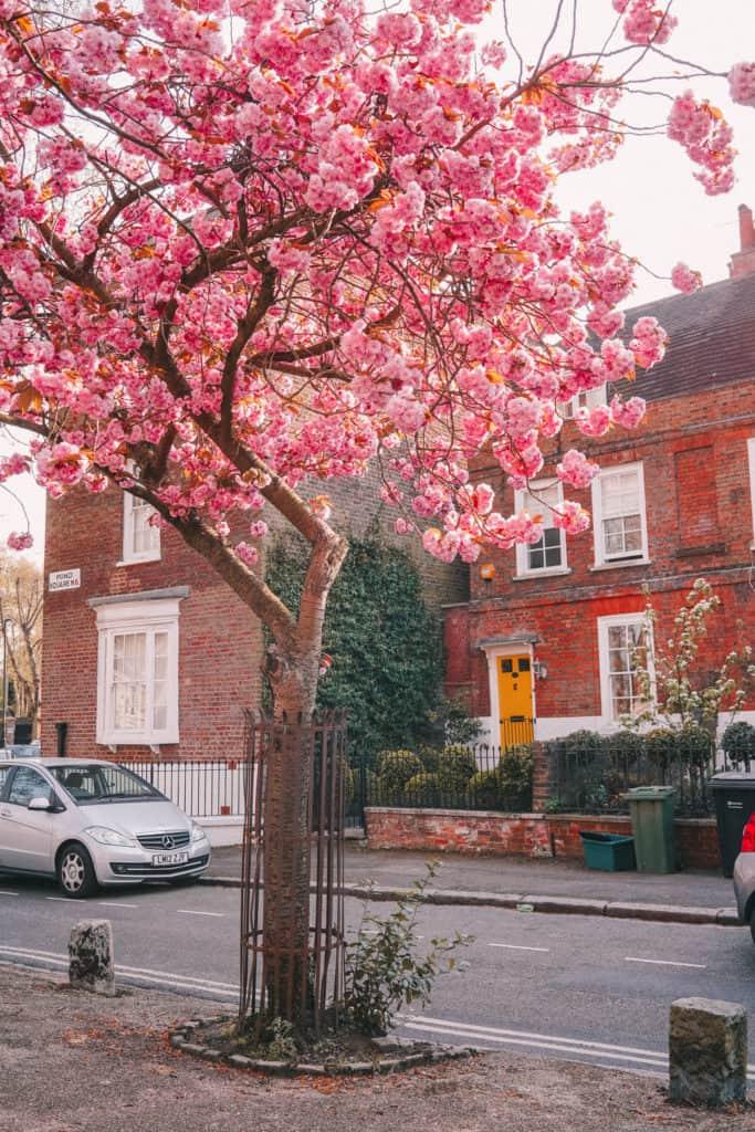 Highgate - cherry blossom - hidden gem of London