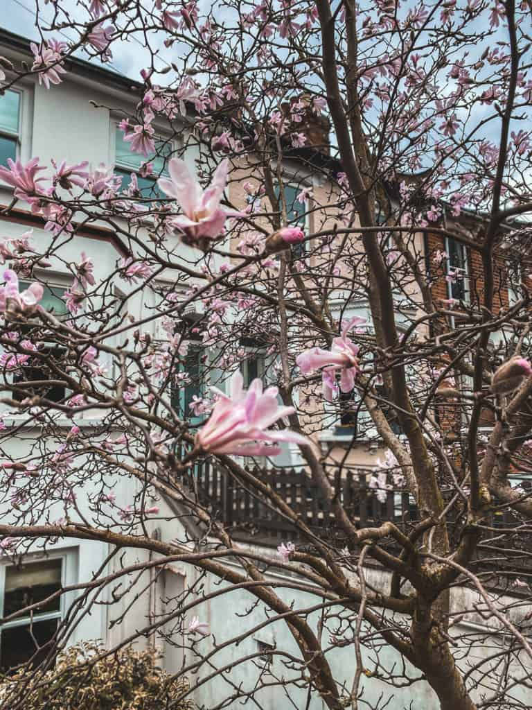 East Finchley Magnolia blossom