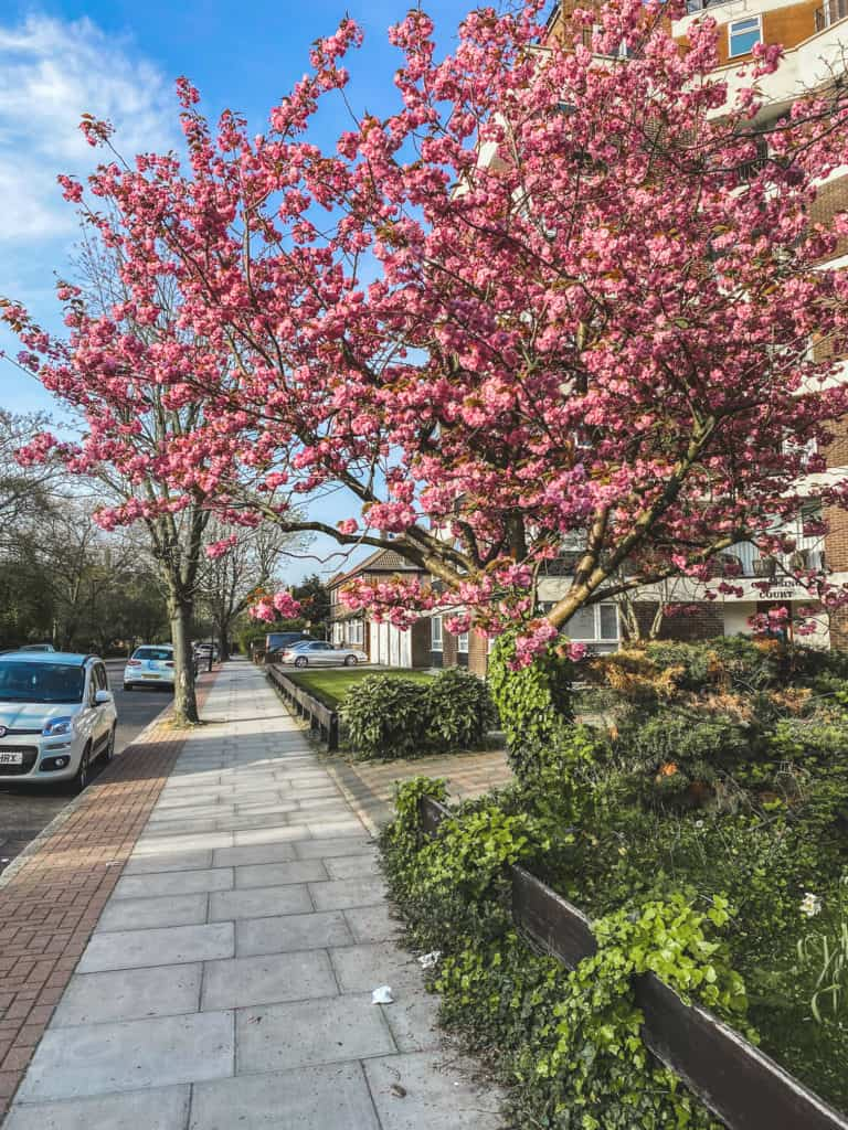 East Finchley Cherry blossom