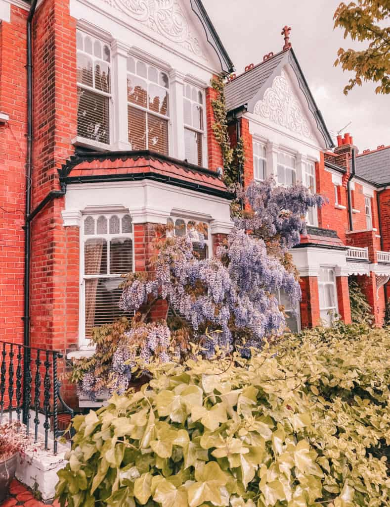 Wisteria in Muswell Hill