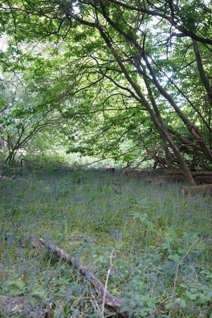 Ashridge Estate & Forest Bluebells